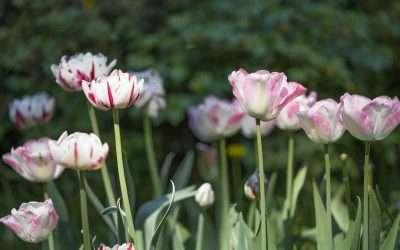 Vieraskynä – Tulppaanien kuiske